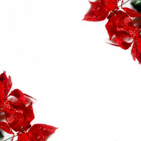red-poinsettias-in-two-corners-free-stock-image